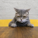 Angry cat sitting at desk